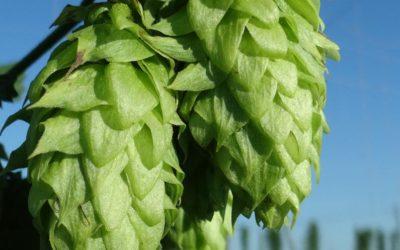Comprar llúpol en flor per a cervesa artesana – collita 2016