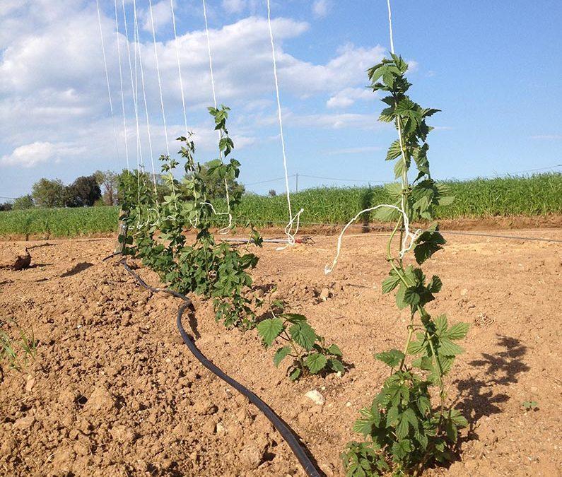 El cultiu del llúpol