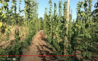 El primer sector – Creix el conreu del llúpol, que es correspon amb el moment daurat de la cervesa artesana